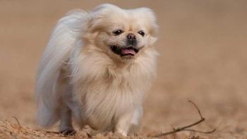كلب بكيني