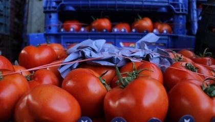 روسيا تعيد إلى تركيا شحنة طماطم مصابة بحشرة «توتا أبسلوتا»