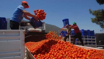 «حرب الطماطم».. روسيا ترفض استلام الشحنات التركية والسبب: التوترات في إدلب