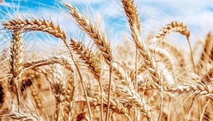 تركيا تستورد 20 ألف طن من القمح السوري بمليون و300 ألف ليرة