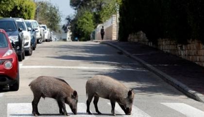 بالفيديو: قطعان الخنازير التركية تتجول في الشوارع بحرية بعد قرار الحظر