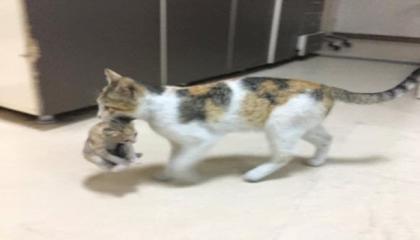 بالصور.. قطة تحمل صغيرها المريض وتتوجه به إلى مستشفى في إسطنبول