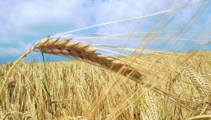 زيادة واردات تركيا من القمح 632% خلال آخر 5 سنوات
