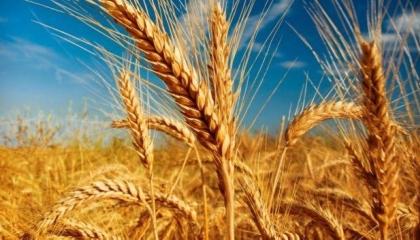 تركيا تستعد لاستيراد 500 ألف طن من القمح