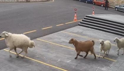 بالفيديو.. الحيوانات تجتاح الشوارع التركية وتقتحم مبنى بلدية نفشهير!