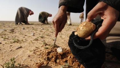 مقتل 5 نساء سوريات في انفجار لغم خلال بحثهن عن ثمار «الكمأة»