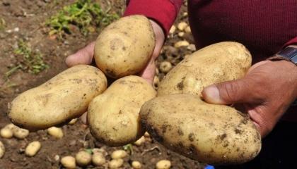 بعد أن وزعها العدالة والتنمية على المواطنين.. ارتفاع أسعار البطاطس في تركيا