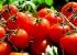 الطماطم التركية