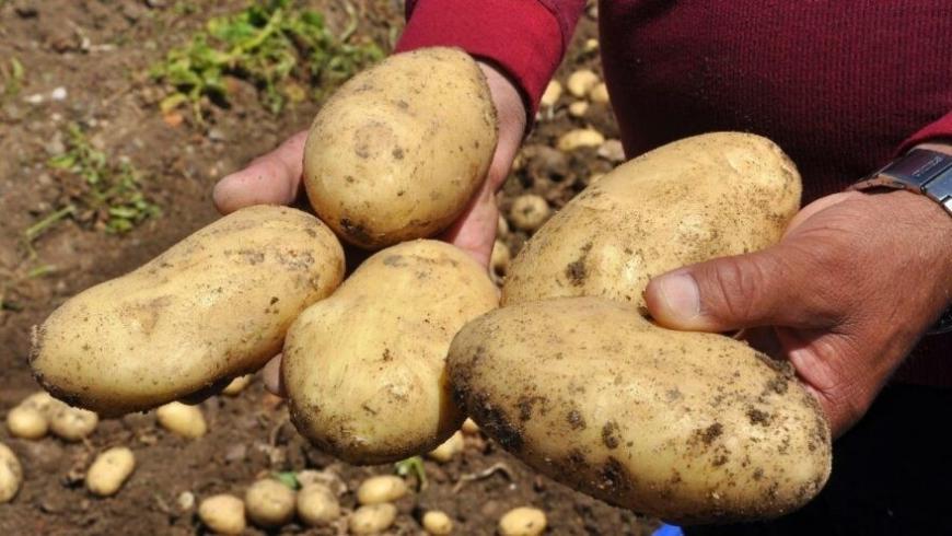 البطاطس التركية